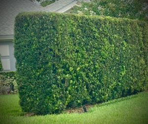 Podocarpus hedge privacy