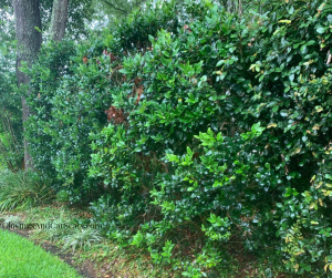 Ligustrum privacy hedge